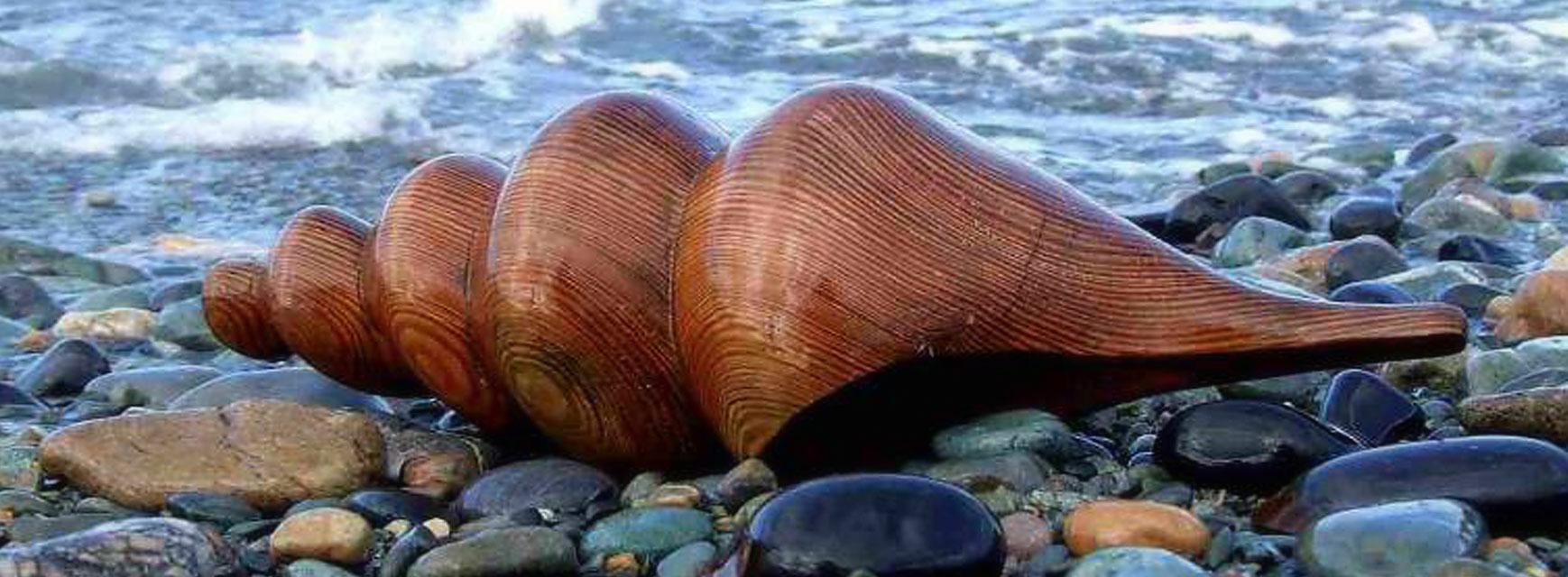 Wooden Shell